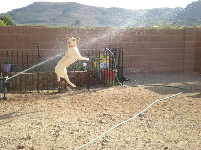 dogs-vs-sprinklers-17 (700x525, 75Kb)