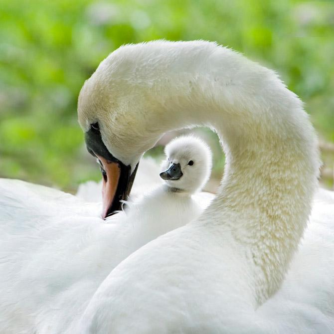3085196_Jacky_Parker_swans_1 (670x670, 78Kb)