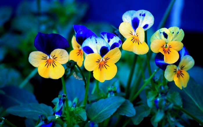 Nature_Flowers_Pansies___Flowers_008302_ (700x437, 67Kb)