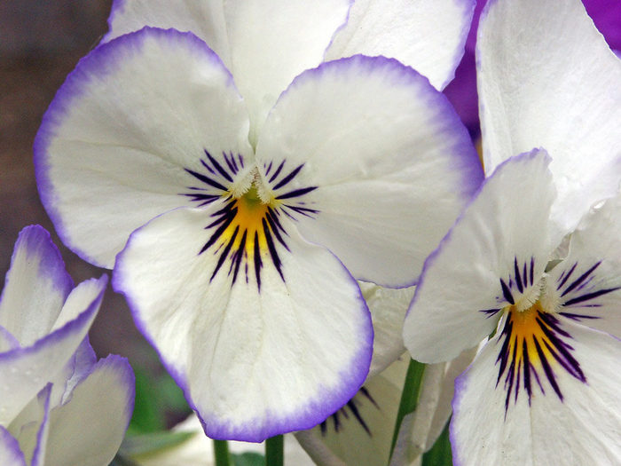flowers_pansy-1152 (700x525, 70Kb)