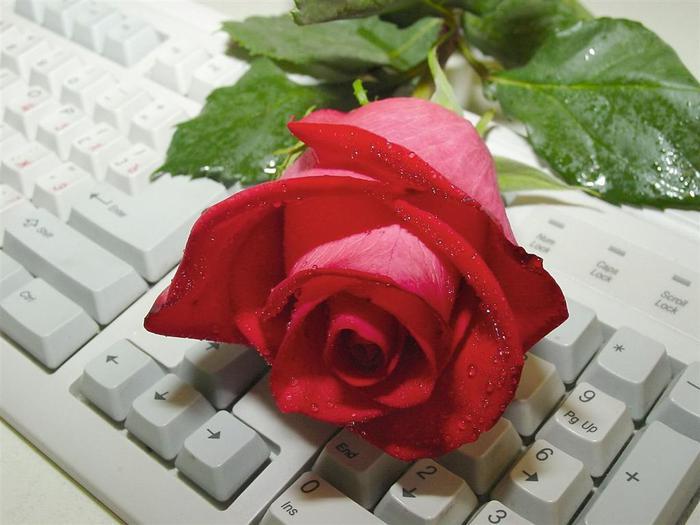 Rose на клавиатуре (700x525, 46Kb)