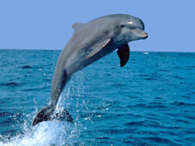 dolphin (220x165, 60Kb)