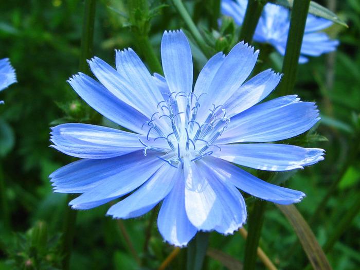 Полевые цветы названия и картинки 2