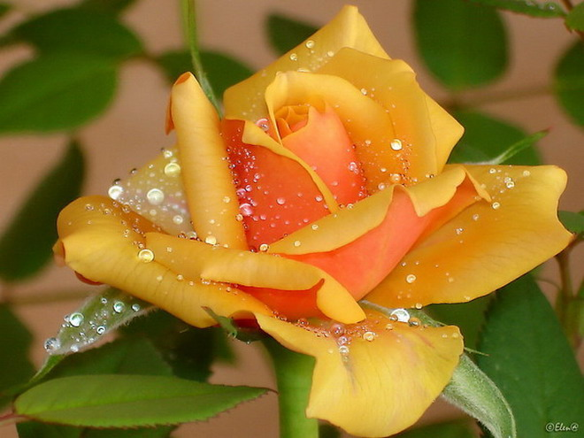 Желт Роза супер!!!2 (660x495, 78Kb)