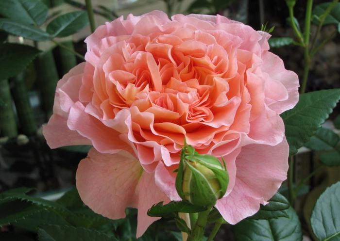 Розовая красивая (700x497, 79Kb)