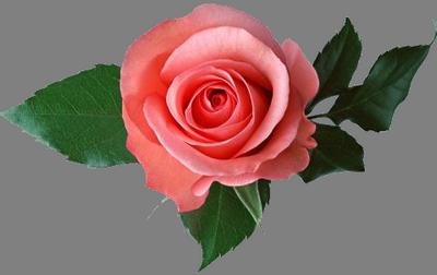 roza_i_listya-4646 (400x252, 148Kb)