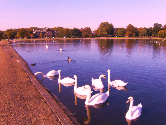 All sizes  Swans in Hyde Park  Flickr - Photo Sharing! (700x529, 860Kb)