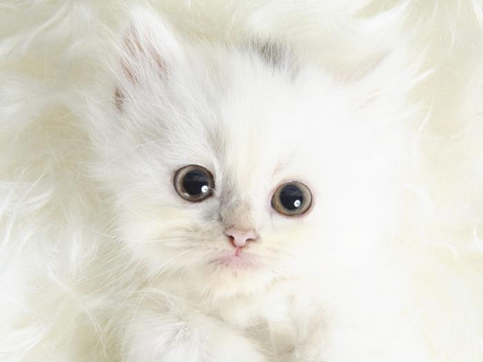 3437689_1152_white_kitty_wallpaper (700x525, 185Kb)