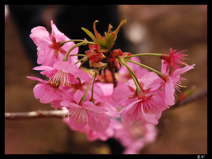 57929578_sakura_flower4_794x596 (699x525, 57Kb)