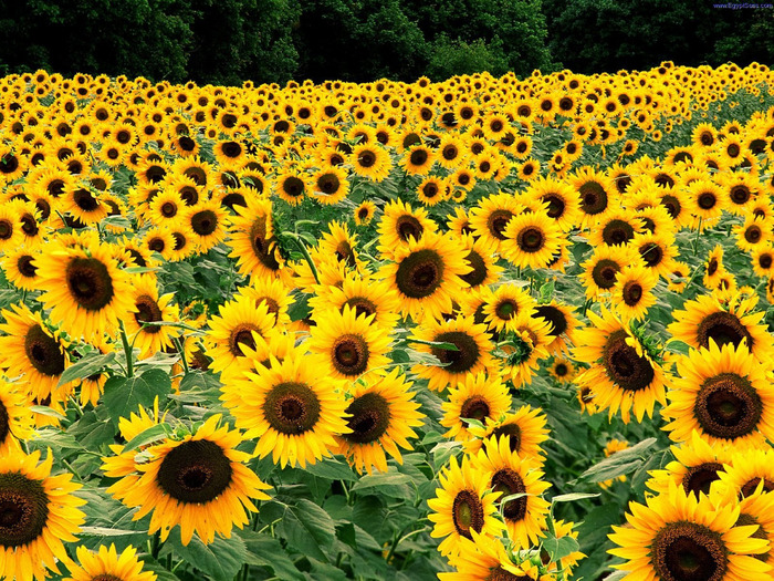 Field_of_Sunflowers_Kentucky (700x525, 302Kb)