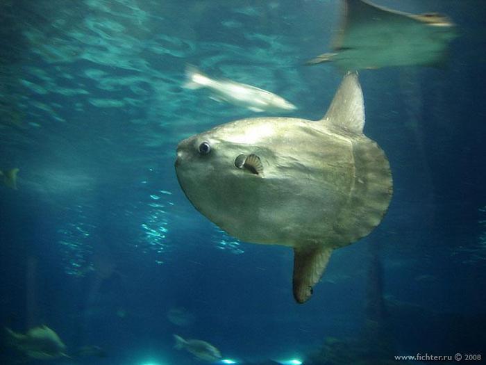 ...очаровательная рыба-луна(или иначе - мола-мола).  Это одна из самых...