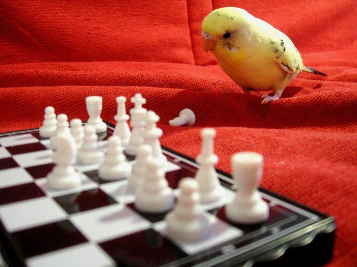 Pensive-Parakeet-741908 (700x525, 72Kb)