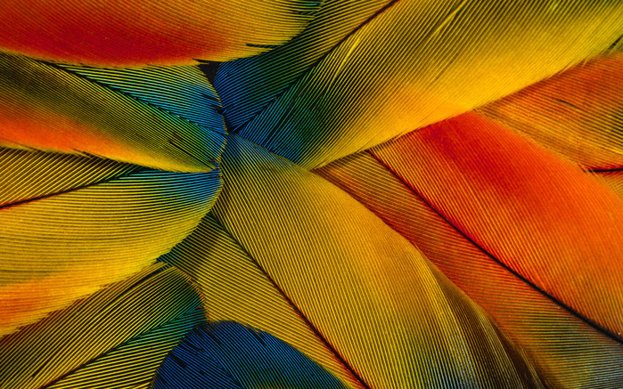 Colorful Feathers and Wing Wallpapers (18) (700x437, 239Kb)