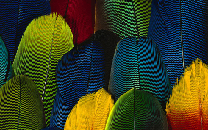 Colorful Feathers and Wing Wallpapers (19) (700x437, 234Kb)