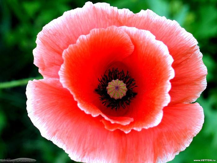 flowers_ru_42 (700x525, 87Kb)