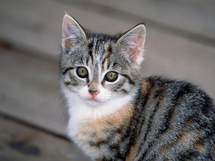 Tabby Kitten (700x525, 80Kb)