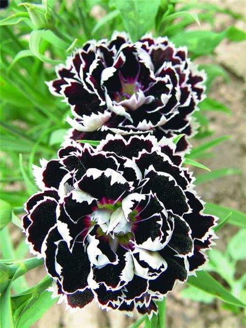 Черные цветы обсуждение на liveinternet