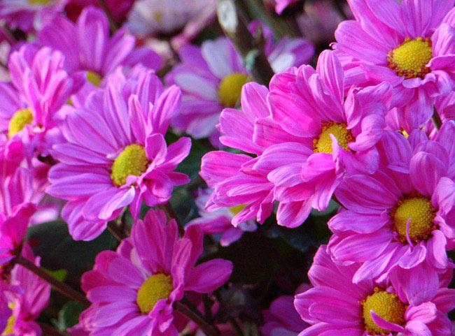 Цветы разноцветные похожие на ромашку