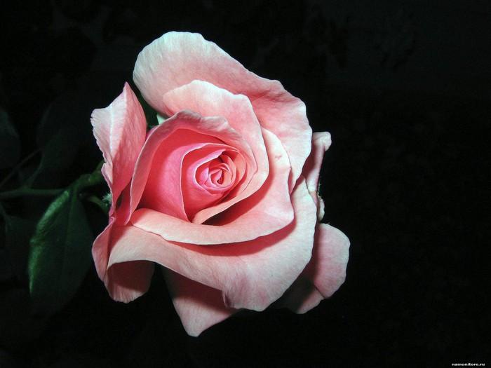 rozovaya_roza_na_chernom_fone_1600 (700x525, 66Kb)