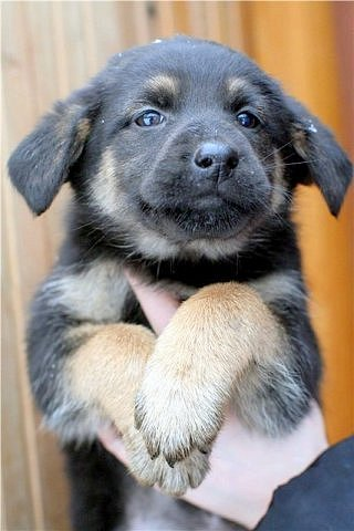 кавказская овчарка против волка: куплю недорого щенка овчарки.