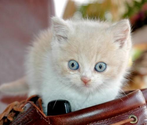 kitten110500x427 (500x427, 43Kb)