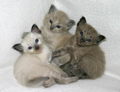 kittens3 (400x309, 29Kb)