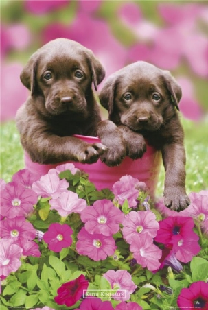 lgph0234+chocolate-puppies-keith-kimberlin-poster (303x452, 104Kb)