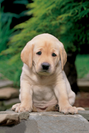 lgpp30340+a-cute-sad-looking-labrador-puppy-labrador-puppy-poster (302x452, 60Kb)