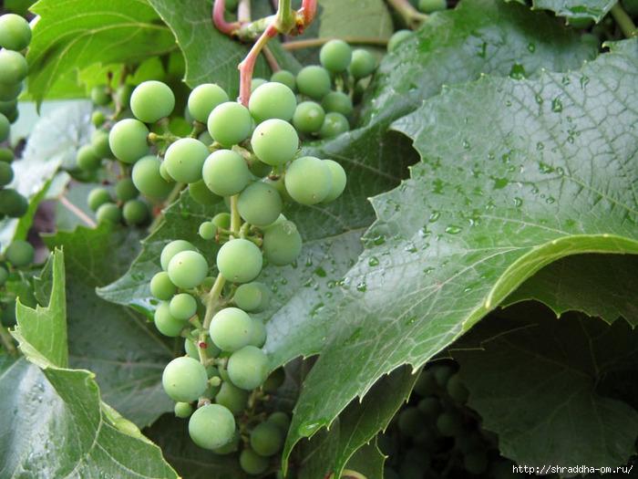 лето, виноград (700x525, 256Kb)