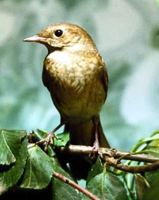 Певчие птицы (певчие воробьиные