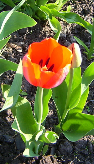 тюльпан (300x525, 137Kb)