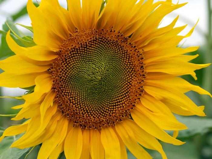 sunflower (700x525, 120Kb)