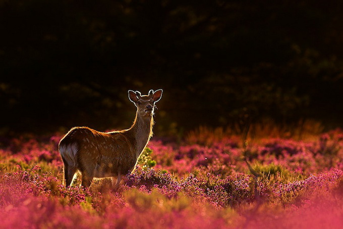wildlife-photos-by-ben-hall-19 (680x453, 97Kb)