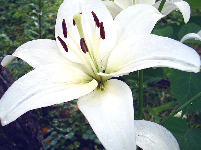 Приготовить цветки розы, белой лилии, жасмина, ландыша, фиалки (срывать нужно осторожно, чтобы не осыпалась пыльца).