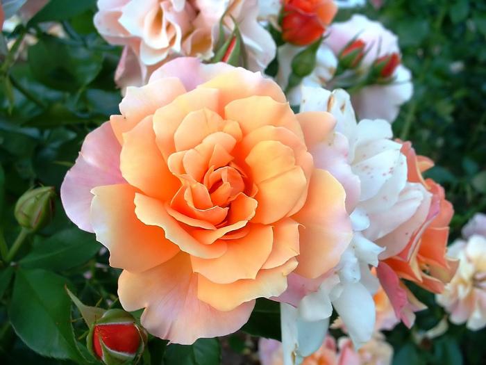 white_roses (700x525, 167Kb)