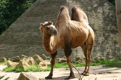 Верблюд (400x266, 98Kb)