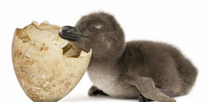 chick (1) (700x348, 36Kb)