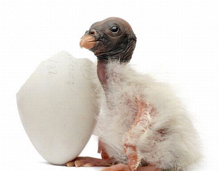 chick (3) (700x547, 43Kb)