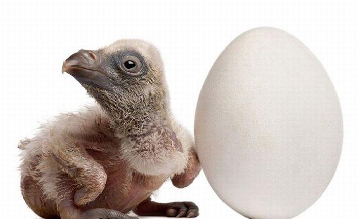 chick (4) (700x429, 33Kb)