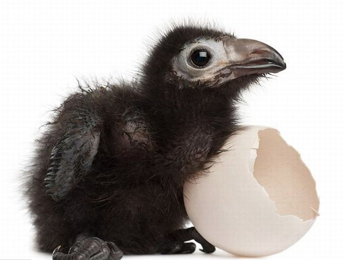 chick (5) (700x529, 42Kb)