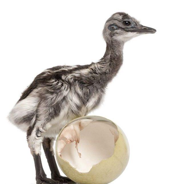 chick (6) (600x649, 35Kb)