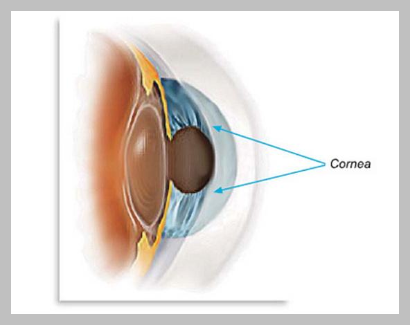 Функция. Роговица - оптическая структура глаза, ее преломляющая сила