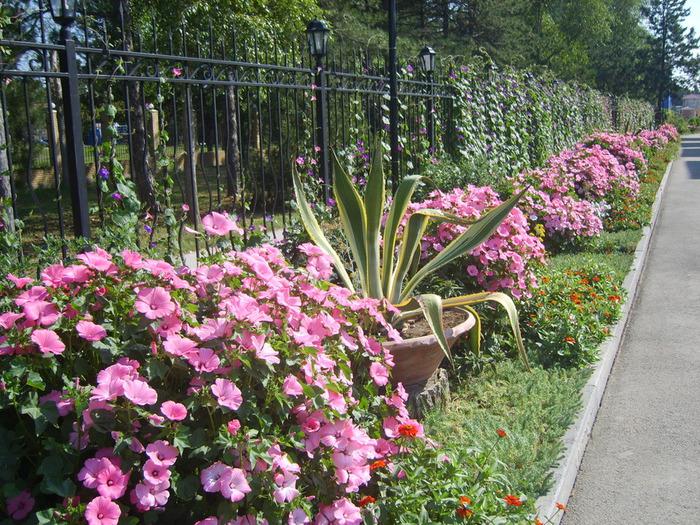 лаватера садовая роза