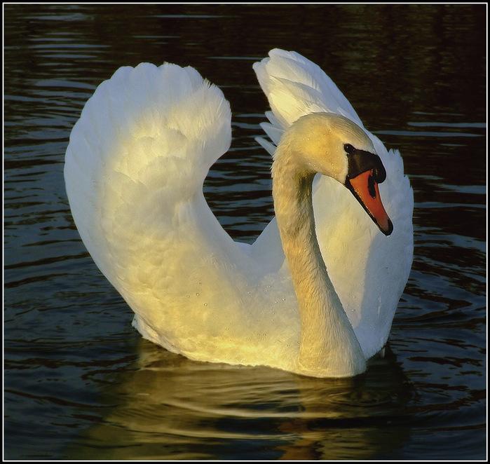 3303834_Swans3 (700x662, 154Kb)