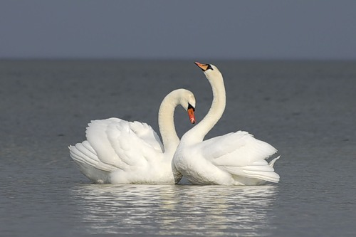 3303834_Swans10 (500x333, 26Kb)