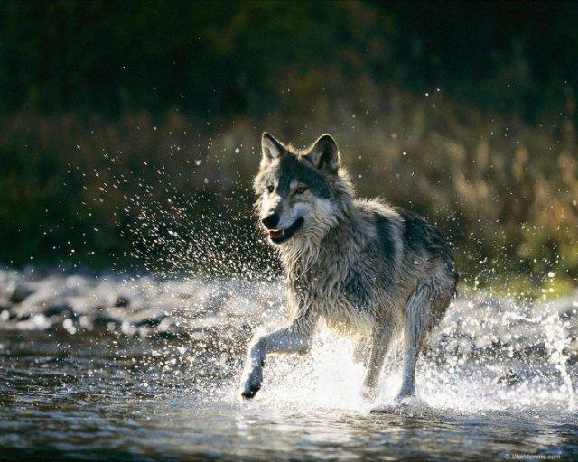 И волки бывают прикольными и смешными