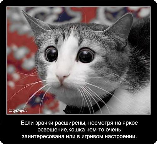 кошка глаза кот (500x460, 74Kb)