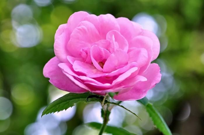 роза (700x464, 55Kb)