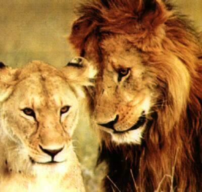 Вот еще одна парочка, просто красавцы... фото львов и львиц №8/3320012_lvi_foto_lvov_i_lvic_9 (400x380, 24Kb)