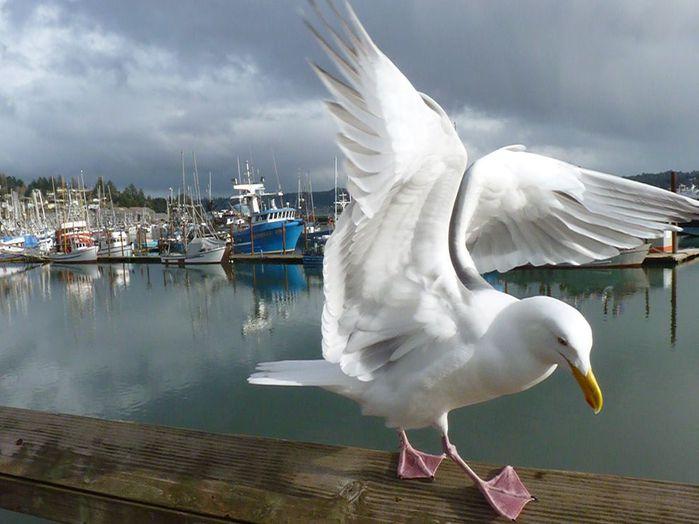 seagull-marina_36892_990x742 (700x524, 52Kb)